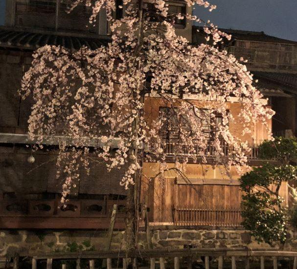 祇園白川の桜の季節となりました。
