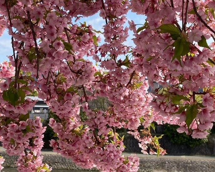 鴨川沿いの先斗町へ抜ける一角でもう満開の桜