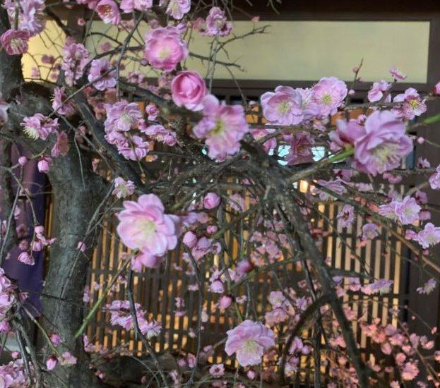 祇園白川近くの夜の梅