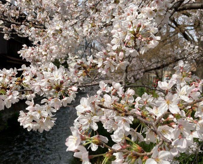 祇園白川オフィスの前を流れる白川沿いの桜